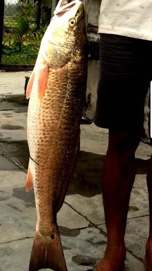 """Bình Định: Bắt được """"cá lạ"""" 5 kg nghi cá sủ vàng - 1"""