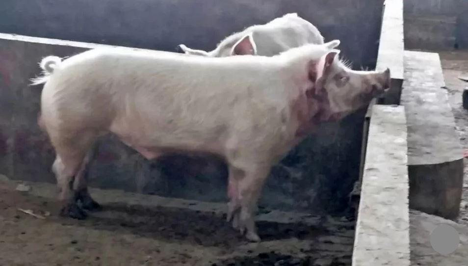 Lợn sổng chuồng cắn chết người đàn ông Trung Quốc - 1