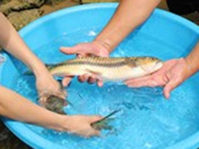 Săn tìm loài cá quý hiếm như vàng dưới chân núi Hoàng Liên