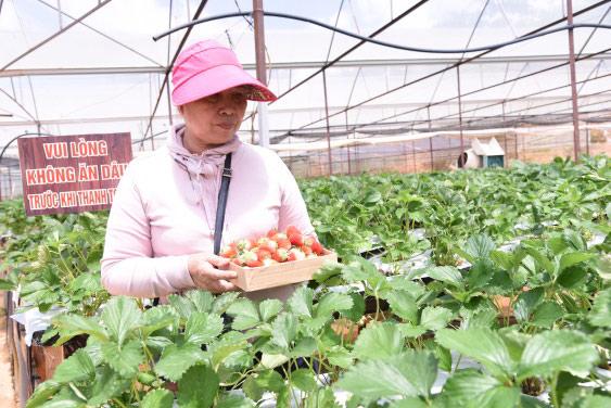 Làm giàu từ trồng dâu tây phục vụ khách du lịch - 1