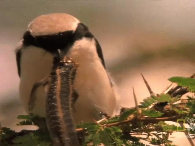 Loài chim dễ thương có sở thích kinh dị: Ghim xác con mồi lên cành cây