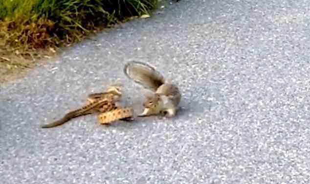 Video: Sóc nhỏ tử chiến với rắn lớn để bảo vệ lãnh thổ - 1
