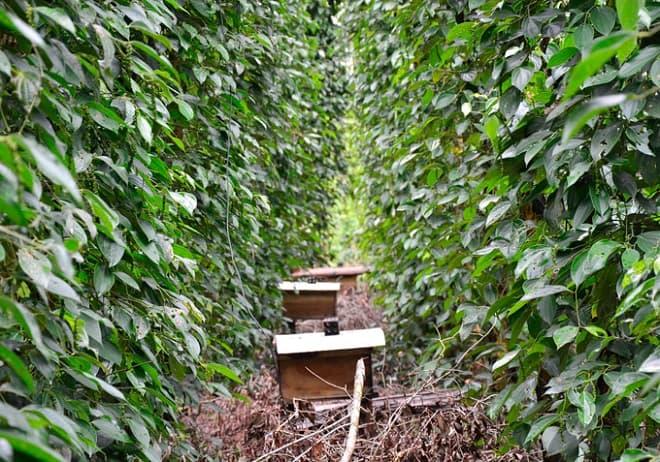 Kiên Giang: Nuôi ong, cá sặc rằn trong vườn tiêu, làm chơi ăn thật - 1