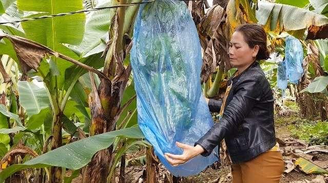 Trồng chuối Laba, nông dân Lâm Đồng thu lãi sòn sòn nửa tỷ/ha - 1