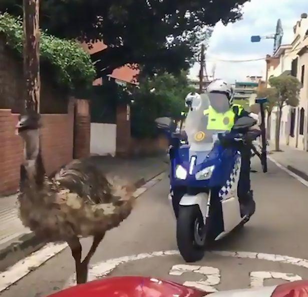 Video: Cảnh sát lái xe máy, ô tô truy đuổi đà điểu đến chết - 1