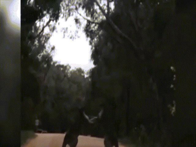 Những pha tung cước như võ sĩ chuyên nghiệp của loài chuột túi