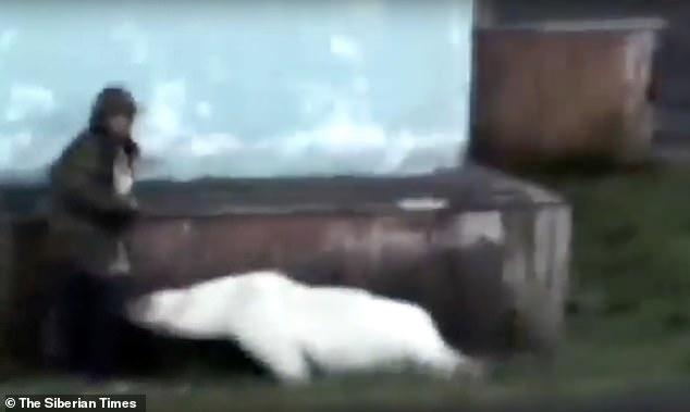 Đàn gấu Bắc Cực đói khát xâm chiếm thị trấn Nga khiến cư dân hãi hùng - 1