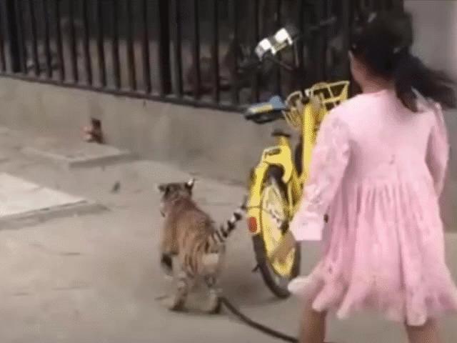 Bé gái 9 tuổi dắt hổ đi dạo trong công viên ở Trung Quốc