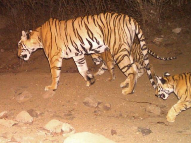 """Hổ cái giết 13 người Ấn Độ """"đấu trí"""" lực lượng truy tìm hùng hậu"""