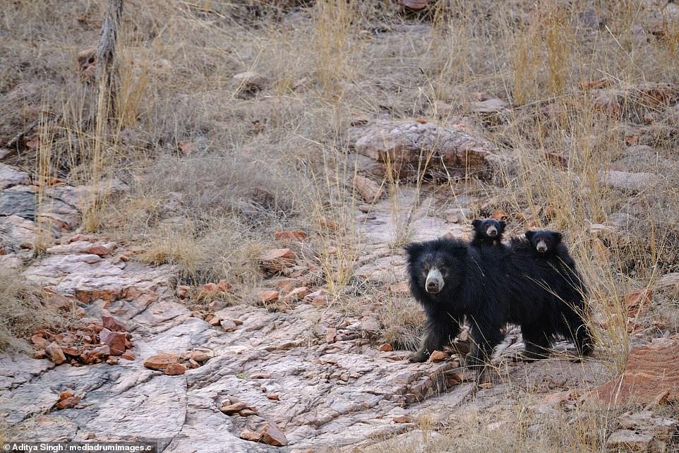 3 con nhỏ nấp sau lưng, mẹ gấu một mình đối phó hai hổ dữ - 1
