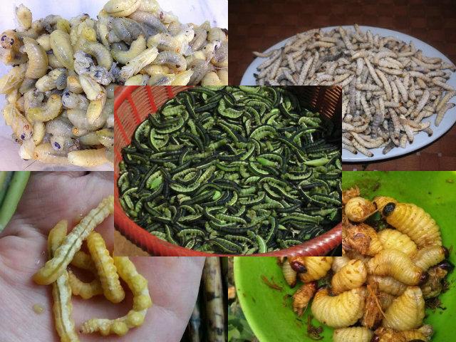 Sởn da gà 5 đặc sản từ sâu nhung nhúc, béo núc kinh dị ở Việt Nam - 1