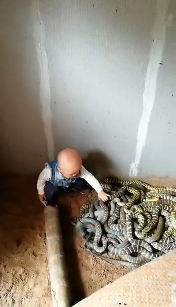 Video: Bé trai chưa biết nói nghịch đàn rắn như đồ chơi ở Trung Quốc - 1
