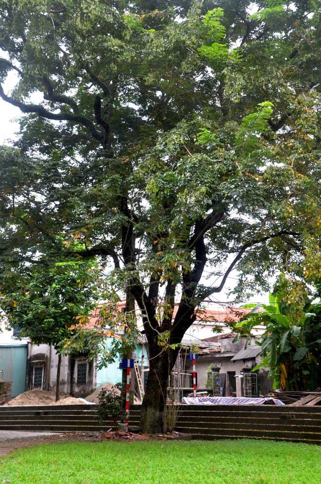 Chiêm ngưỡng cây sưa được ví như vàng ròng ở Thủ đô Hà Nội - 1
