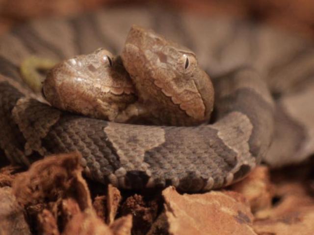 Phát hiện rắn hai đầu cực hiếm ở sân nhà