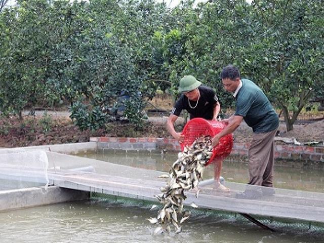 """Giữa đất Hà thành: """"Đào"""" sông trong ao nuôi cá dày đặc kiểu Mỹ"""