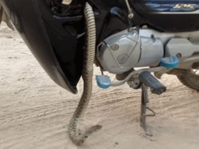 SỐC: Lôi con rắn to dài gần 1 mét ra khỏi hốc gầm xe Honda