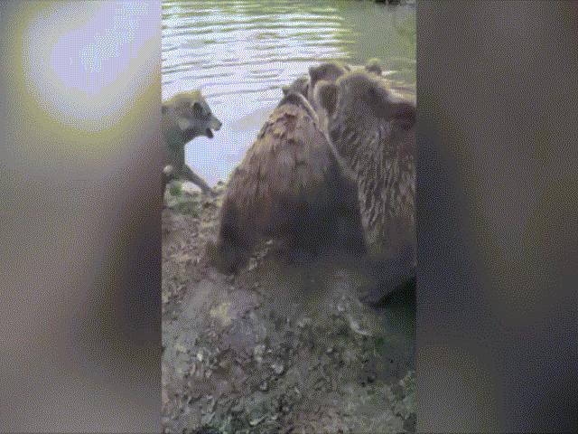 Video: Gia đình gấu đại chiến đàn sói và kết cục đẫm máu