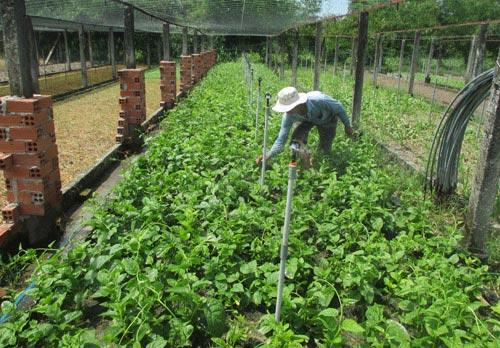 Bỏ lúa trồng rau, nông dân ở đây thu 20 triệu đồng mỗi tháng - 1