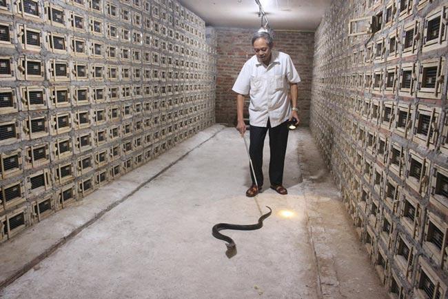 Một Hợp tác xã nuôi đàn rắn hổ mang cực độc lên tới 30.000 con - 1