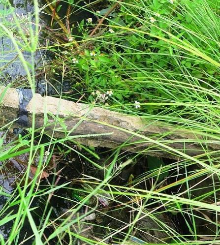Con bò làm lộ bê tông cốt... gỗ trên công trình thủy lợi - 1