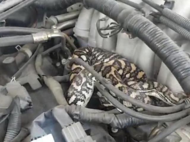Mở nắp xe ô tô, phát hiện con vật đáng sợ quấn chặt động cơ