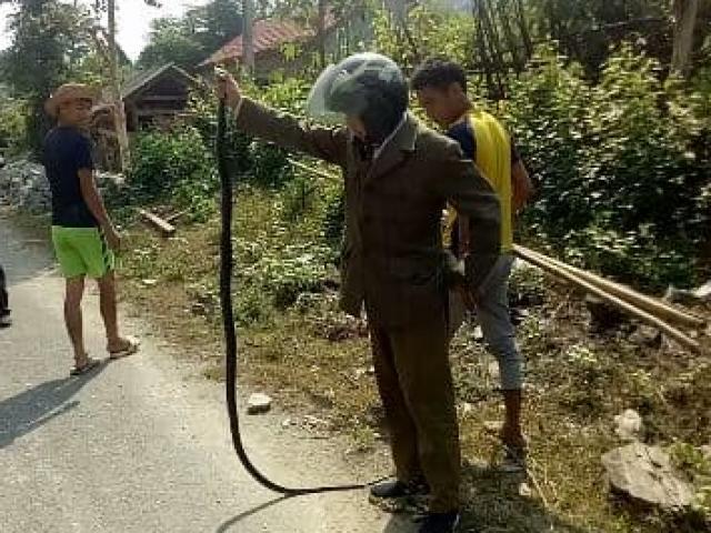 Rùng mình, người đàn ông tay không bắt rắn hổ mang chúa dài 2m trên quốc lộ