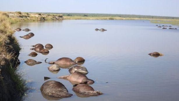 Video: Chạy trốn sư tử, hơn 400 con trâu chết bi thảm dưới sông - 1