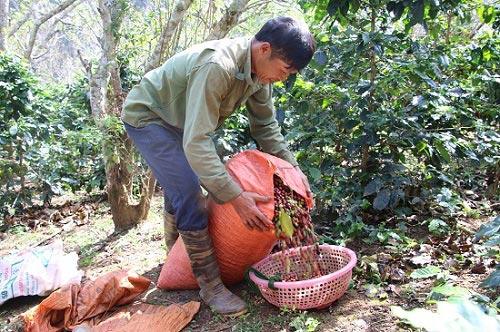 """Mùa thu hoạch cà phê Sơn La, được bao nhiêu thương lái """"khuân"""" hết - 1"""