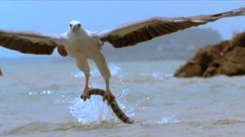 Video: Cuộc chiến tàn khốc giữa chim đại bàng và rắn cực độc - 1