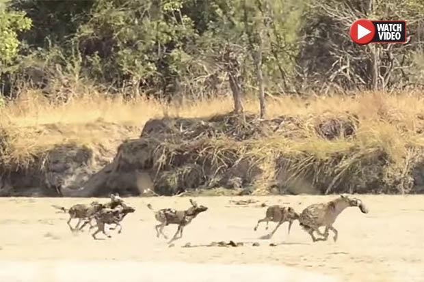 Cướp thức ăn, linh cẩu bị cả bầy chó hoang truy sát - 1