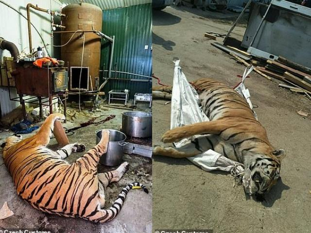 Inside the farm were illegally killing tigers serving Vietnamese in the Czech Republic