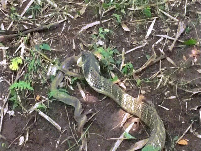 Cuộc huyết chiến đầy gay cấn giữa 2 loài rắn hổ mang cực độc