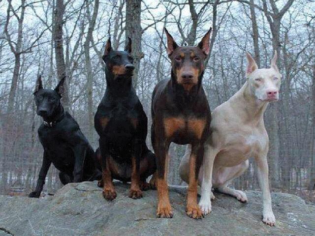 Ngoài chó Pitbull, Việt Nam còn những giống chó hung dữ nào khác?