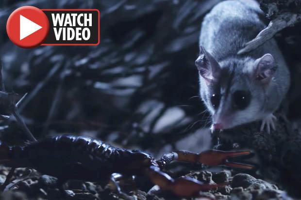 Chuột đụng độ bò cạp kịch độc trong cuộc chiến một mất một còn - 1