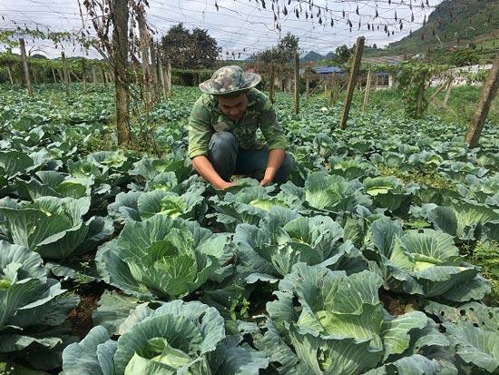 Trai 18 tuổi, trồng 6.000m2 rau cải bắp, kiếm 100 triệu đồng/năm - 1