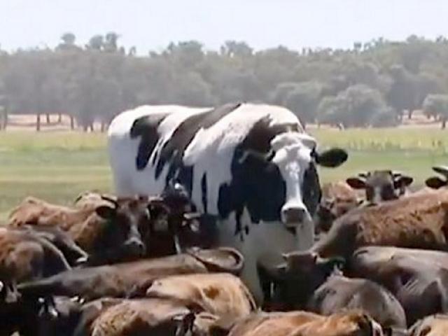 Chú bò may mắn nhất thế giới, to bằng một chiếc xe hơi