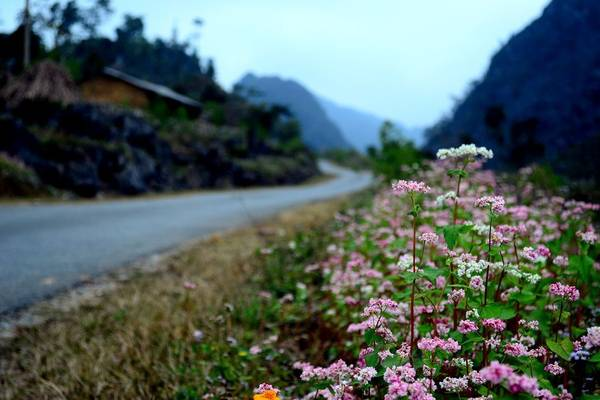 Scattered around the flower triangle on the Plateau of Moc Chau - 1