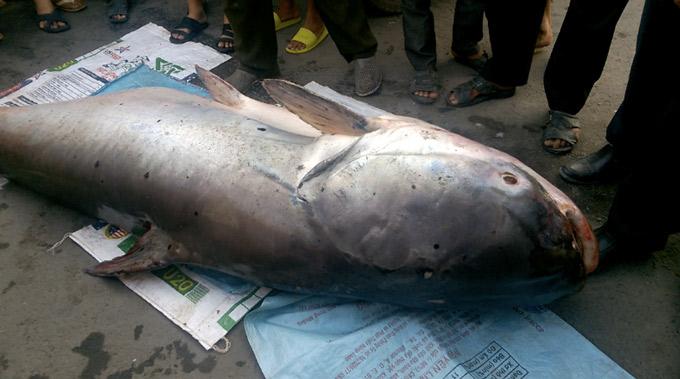 """""""Thủy quái"""" cá tra dầu khủng nặng 240 kg được bán giá 70 triệu đồng - 1"""