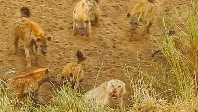 Sư tử bị đàn linh cẩu dồn vào đường cùng, cứu tinh bất ngờ xuất hiện - 1