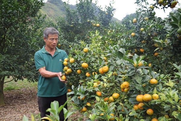 Lãi 250 triệu mỗi năm từ 750 gốc cam Canh trồng trên đất dốc - 1