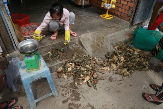 Tôm hùm ở Cam Ranh chỉ còn 100.000 đồng/kg sau bão - 1