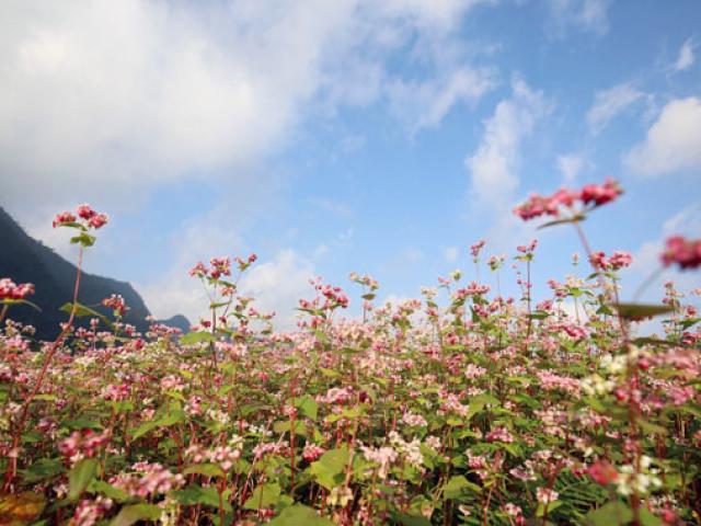 Mê mẩn những đồi hoa tam giác mạch ở Hà Giang