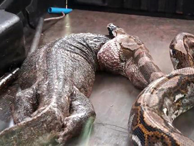 Phát hiện thứ kinh hoàng trong bụng trăn khổng lồ ở Thái Lan