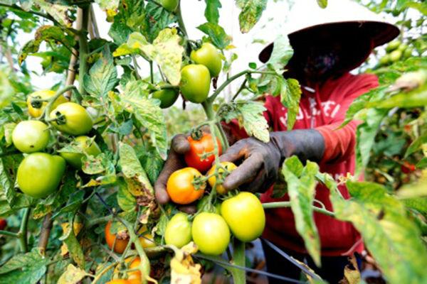 Thiệt hại hàng tỉ đồng vì mua giống cà chua rita giả - 1