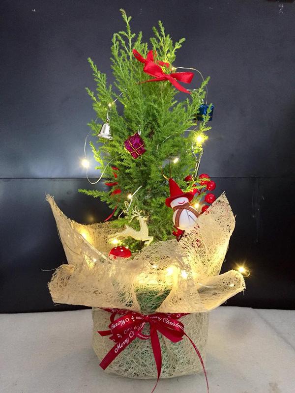 Loại cây có mùi thơm, giá rẻ hơn hoa đang hút khách mùa Noel - 1