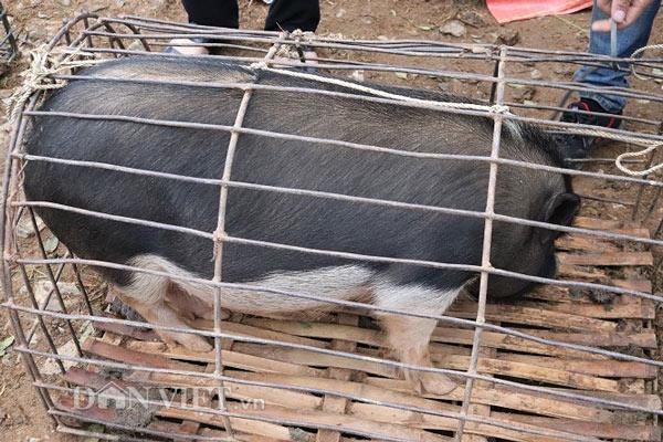 """Đặc sản lợn """"cắp nách"""" ở chợ phiên chợ vùng cao nơi núi rừng Sơn La - 11"""