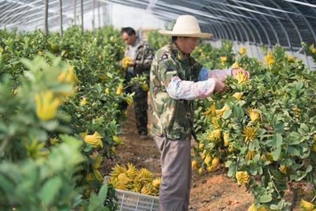 Kiếm hàng chục tỷ/năm nhờ trồng quả người Việt Nam hay mua để cúng bái - 1