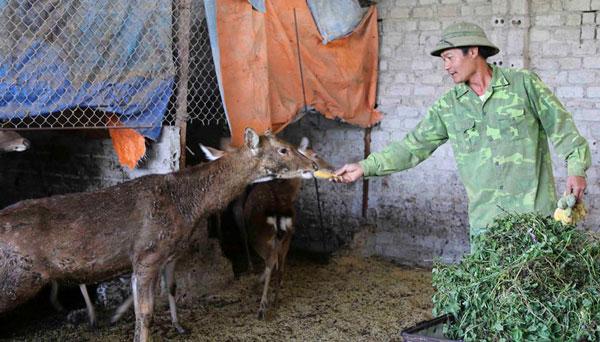 Nuôi con ăn rau rừng, uống nước lã, bán 400 ngàn đồng 1 kg thịt - 1