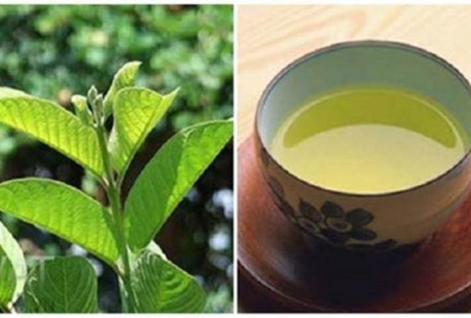 """Sự thật về """"thần dược"""" trà lá ổi chống ung thư, hỗ trợ chữa tiểu đường - 1"""
