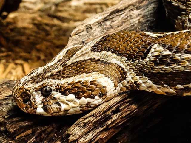 Tấn công bầy mèo rừng còn non, rắn độc nhận kết cục bi thảm
